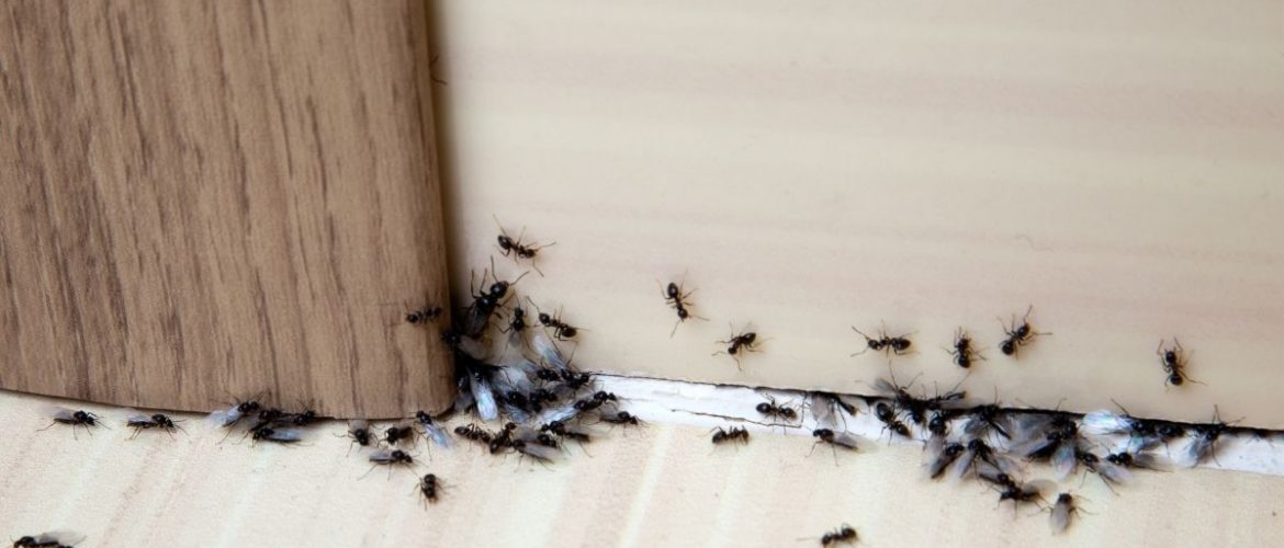 How To Get Rid Of Ants in the House?